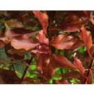 Ludwigia Super Red Mini
