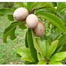 Manilkara Zapota Fruit Live Indian Garden Plants