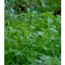 Mustard Greens Mizuna Seeds