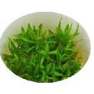 Pogostemon Erectus Live Aquarium Plants