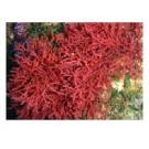 Horsetail Coraline Algae Reef Aquarium Macro Algae