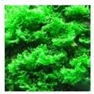 Riccardia Moss