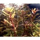 Rotala Rotundifolia HRA