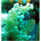 Saltwater Grape caulerpa Reef Aquarium Marine Tank Macro Algae