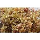 SARGASSUM Reef Aquarium Macro Algae