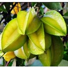Two PC Star Fruit Live Indian Garden Plants