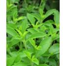 Stevia Live Indian Garden Plants