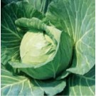 Syngenta BC 76 Cabbage Commercial Agriculture Seeds
