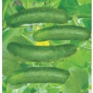 Syngenta CAIH30 Rajani Cucumber Commercial Agriculture Seeds