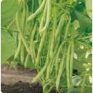 Syngenta Seville Bean Commercial Agriculture Seeds