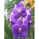 Vanda Orchids Plants VMB1258