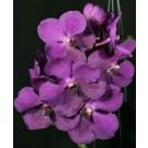 Vanda Orchids Plants VMB1263