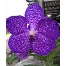 Vanda Orchids Plants VMB1264