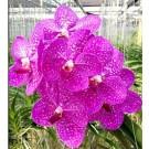 Vanda Orchids Plants VMB1267