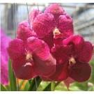 Vanda Orchids Plants VMB1270