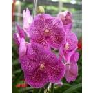 Vanda Orchids Plants VMB1273