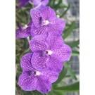 Vanda Orchids Plants VMB1290
