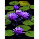 Water Lily Garden Pond Live Floating Plants