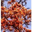 Woodfordia Fruticosa Live Indian Garden Plants